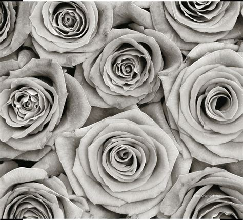 black  white rose mural wallpaper brokers