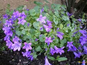 Flowers For > Campanula Muralis   courtney's back yard ...