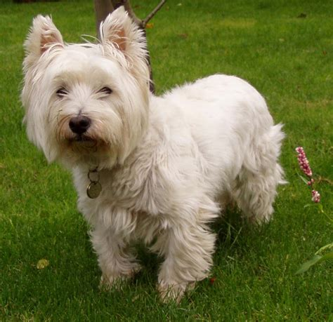 Dogs That Dont Shed For Adoption by File West Highland White Terrier Jpg Wikimedia Commons