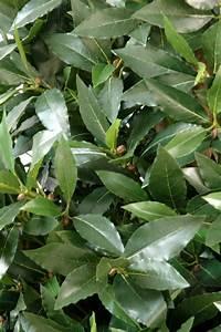 Plante D Intérieur : plante artificielle laurier topiaire large plante d ~ Dode.kayakingforconservation.com Idées de Décoration