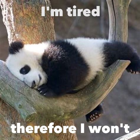 Cute Panda Memes - 684 best pandas everything pandas cute little chubby images on pinterest giant pandas