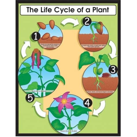 Life Cycle Of A Plant Poster  English Wooks