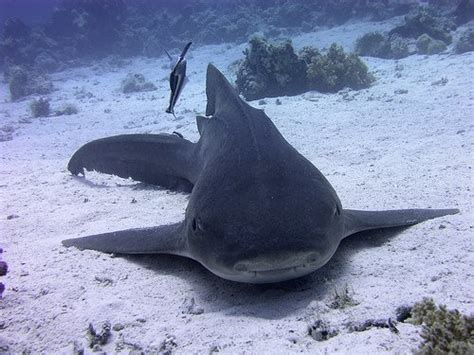 requin dormeur requin griset requin dormeur et requin nourisse parle