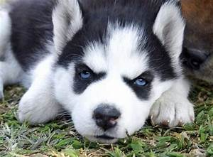 Related Keywords & Suggestions for husky puppy sad eyes