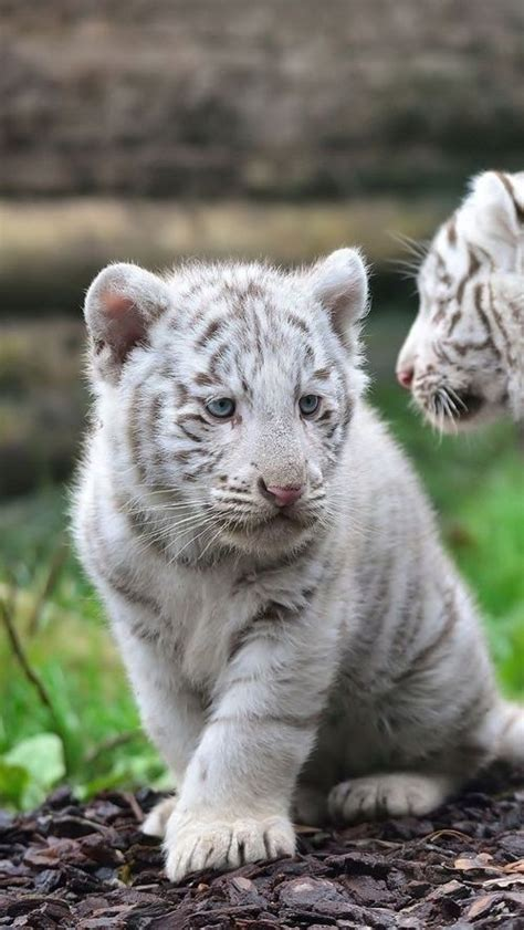 White Tiger Cub Eyes Tigers Animals Beautiful
