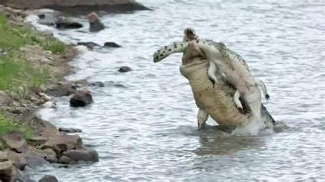 hungry crocodile attacks elephant  bites
