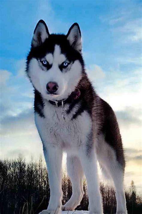 alaskan husky pets dogs dogs puppies  alaskan husky