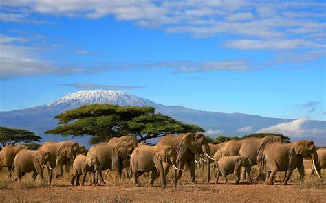 elephants herd tree mount kilimanjaro kenya beautiful