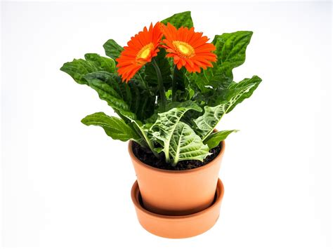 gerbera in pots free photo gerbera flower pot plant free image on pixabay 955803