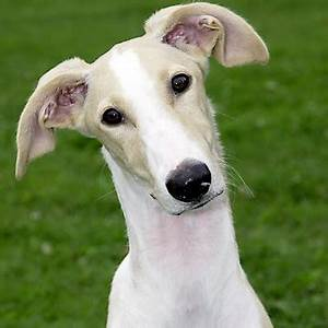 Dog Years Chart Polish Greyhound Breed Guide Learn About The Polish