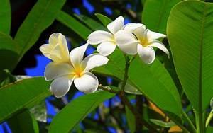 free tropical flowers wallpaper - HD Desktop Wallpapers ...
