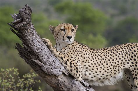 The Difference Between A Leopard And A Cheetah |londolozi Blog