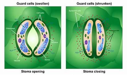 Stoma Opening Closing Svg Pixels Wikipedia