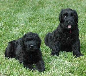 About Dog Black Russian Terrier: Is Your Black Russian ...