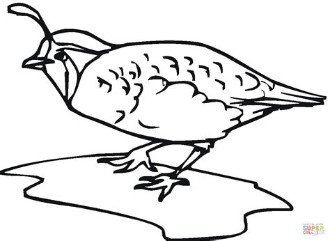 Quail Bird Coloring Page Free Printable Pages