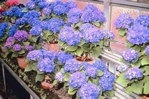 hortensia en pot exterieur comment planter un hortensia en pot 224 l ext 233 rieur condexatedenbay