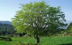 Definition micocoulier celtis australis fabrecoulier for Maison en tronc d arbre 6 definition micocoulier celtis australis fabrecoulier