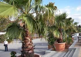 Palmenarten Für Draußen : k belpflanzen berwintern balkon terrasse g rtner tipps ~ Lizthompson.info Haus und Dekorationen