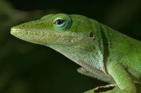 green anole anole search in pictures