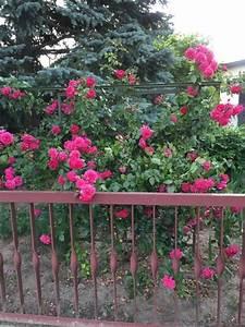 Kleiner Zaun Für Beet : gartengestaltung mit rosen f r beet terrasse rankgitter hausbau blog ~ Sanjose-hotels-ca.com Haus und Dekorationen