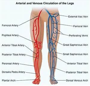 Arteries And Veins Of Leg
