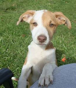 Jenson Whippet & Beagle Mix • Baby --> CUTEST puppy EVER ...