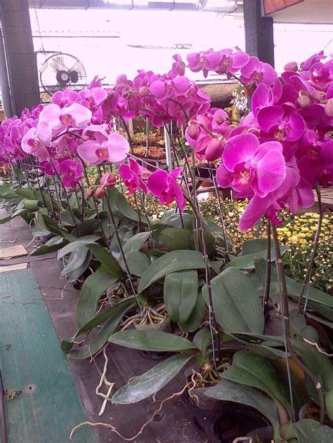 jual bibit bunga anggrek bulan ungu lapak bibit alit
