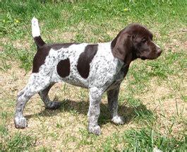 top gun kennel german shorthaired pointer puppies