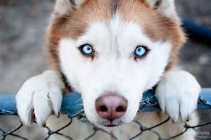 husky - Dogs Picture