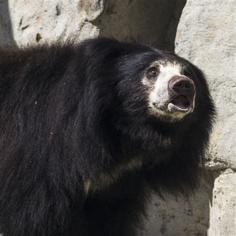 sloth bear zoo conservation fresno fresnochaffeezoo