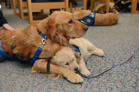 golden comfort lutheran comfort dogs welcome students back to newtown