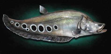 clown knifefish fish florida knife species spotlight taxidermy