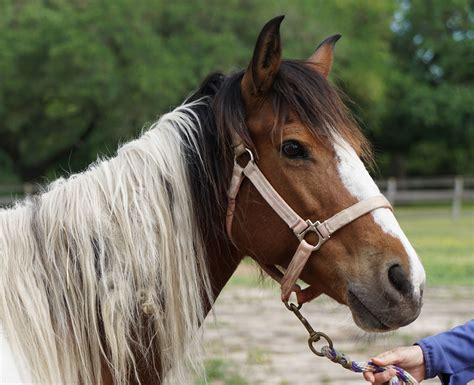 bella companion pinta horse horses habitat phantom habitatforhorses