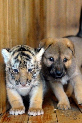 Puppy Finds Unlikely Friend Tiger Cub Animals