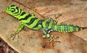 Amazon Rainforest Animals Lizard