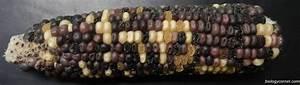 Corn Genetics  U0026 Chi Square