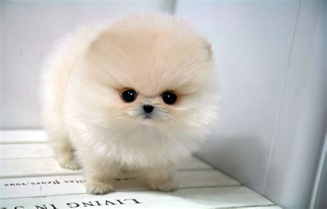 white teacup pomeranian pup awh   love dogs pinterest