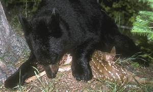 North American Bear Center - Animal Protein