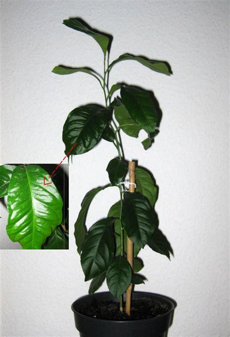 zitronenbaum blaetter wellig und hart pflegen