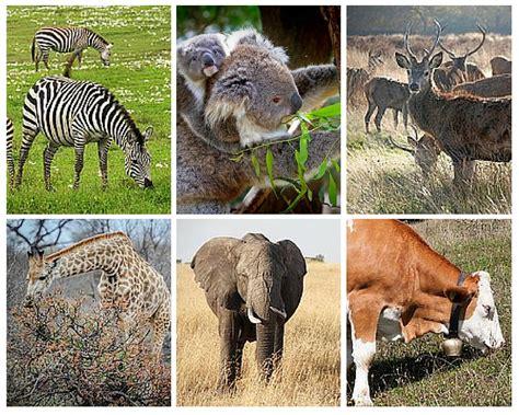herbivores carnivores omnivores examples characteristics animals herbivorous eat plants difference cow between horse plant vore giraffe diet features