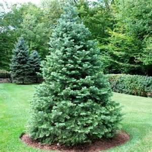 20 abies concolor lowiana pacific white fir seeds