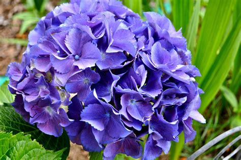 purple hydrangea hydrangeas on pinterest blue hydrangea pink hydrangea and vanilla strawberry hydrangea