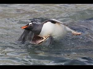 Leopard Seal Hunting Penguins; Never thought something so ...