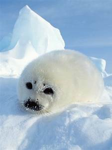 Cute Baby Harp Seals Smiling Seal Snow Fuzzy Animals ...