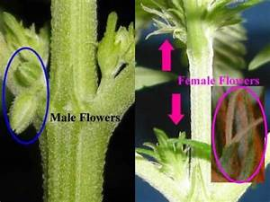 Growing Marijuana Guide Difference Between Male And Female