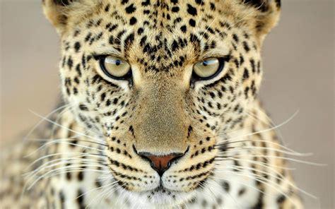 Jaguar Animal Roaring