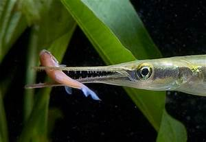 GC4DB6D Needlefish, A fish of the Ocklawaha (Traditional ...