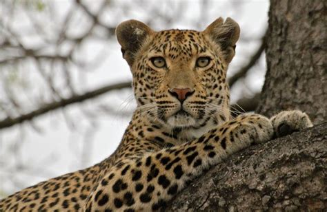 Cincin Leopard 1021 18 best images about kwatile leopard or maliliwane