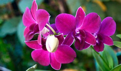 contoh deskripsi tentang bunga anggrek  bahasa