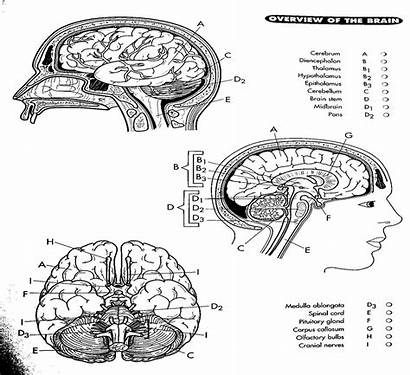 Coloring Brain Pages Diagram Nerve Anatomy Labeled
